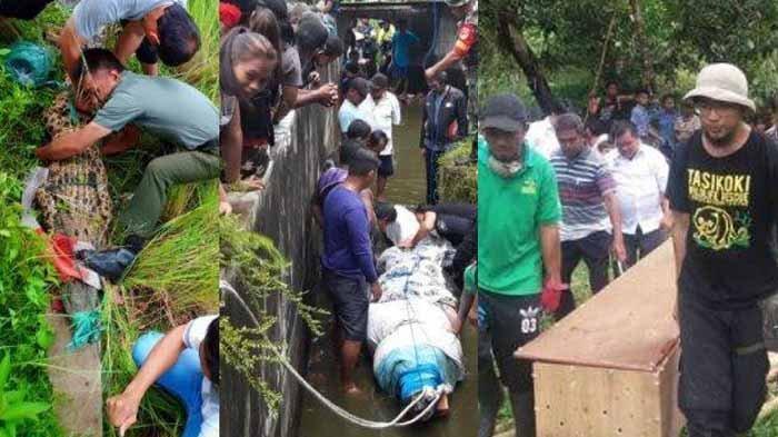 Evakuasi Tiga Ekor Buaya Ini Berlangsung Menegangkan, Berat Buaya Pemakan Manusia Capai 600 Kg