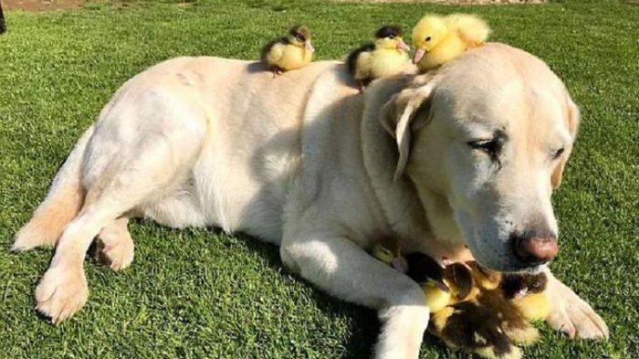 Kasih Sayang Seekor Anjing, Jadi Bapak Angkat 9 Anak Bebek yang Ditinggal Induknya tanpa Jejak