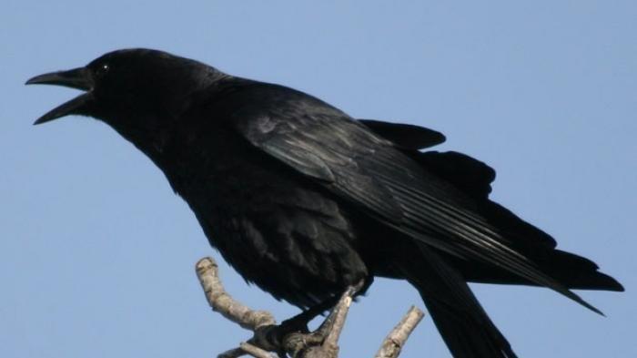 Hati-hati! Arti Mimpi Mendengar Suara Burung Gagak, Pertanda Ada Sebuah Kabar Buruk yang Menghampiri