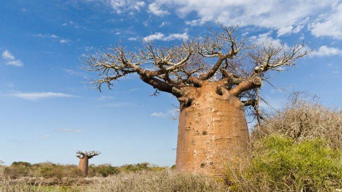 Apa Itu Baobab? Pohon Raksasa Asli Madagaskar Viral Dibeli Crazy Rich Semarang