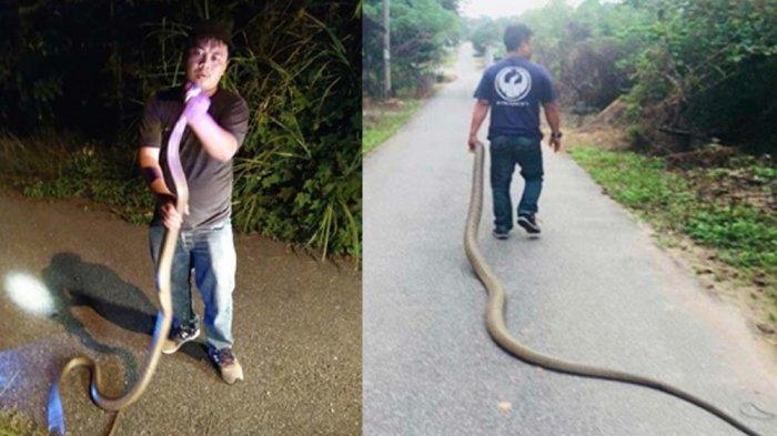 VIDEO. Pria Tangkap Ular King Cobra 4 Meter dengan Tangan Kosong, Dijuluki Raja Ular