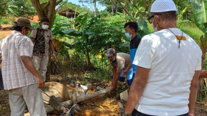Penyembelihan hewan kurban di kediaman Bupati Bintan Apri Sujadi saat Idul Adha 1442 H, Selasa (20/7/2021).
