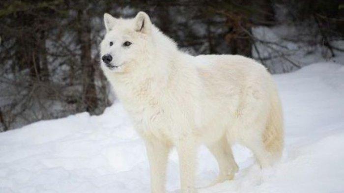 Arti Mimpi Melihat Serigala Dikaitkan dengan Kesuksesan, Bagaimana jika Mimpi Dikejar Serigala?