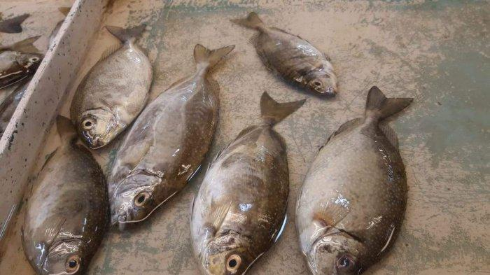 The Catch of Fishermen Decreased, The Chinese New Year Dingkis Fish is Hard to Find