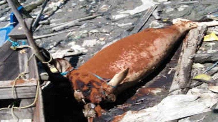 Ikan Duyung Terdampar di Kampung Bugis, Ini Penampakannya