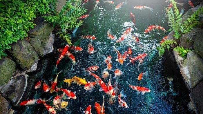 Selain Ikan Cupang Berikut Pilihan Ikan Hias Cocok Dipelihara Di Rumah Koi Hingga Guppy Tribun Batam