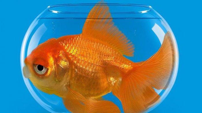 Arti Mimpi Menangkap Ikan Mas, Beruntunglah! Menurut Primbon Jawa Ada Pertanda Baik