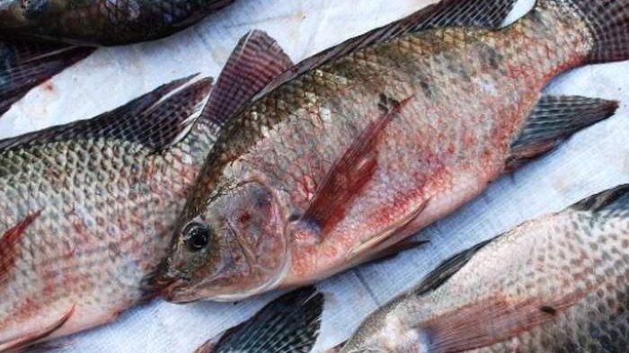 Hati-hati! Sering Dimakan Orang Indonesia, Ini 5 Bahaya Makan Ikan Mujair Buat Kesehatan