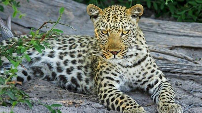 6 Arti Mimpi Melihat Macan Tutul, Siap-siap! Akan Ada Kekecewaan Dalam Urusan Bisnis dan Juga Asmara