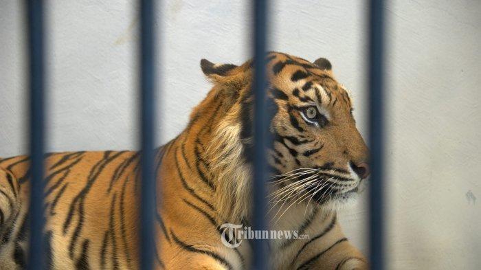 Pulang Bekerja di Hutan, Pria Ini Diterkam Harimau Sumatera, Begini Caranya Selamatkan Diri