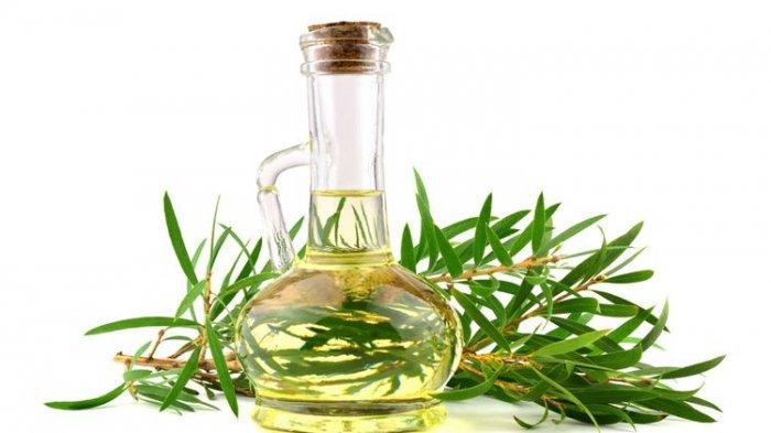 ILUSTRASI - Minyak kayu putih berasal dari tanaman eucalyptus asli Australia dan memiliki sejumlah manfaat kesehatan
