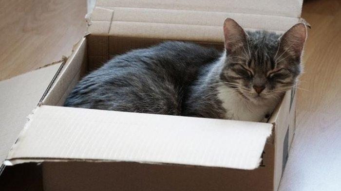 Kenapa Kucing Sangat Menyukai Kotak Kardus? Ternyata Ini Alasannya