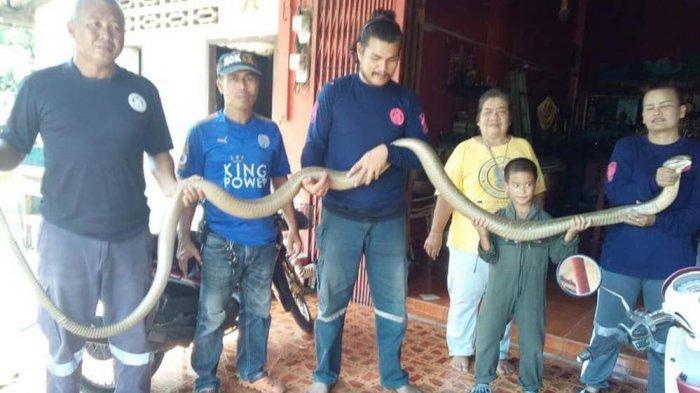 Ular King Cobra Raksasa Sepanjang 5 Meter Masuk Rumah. Untung Cepat Ketahuan