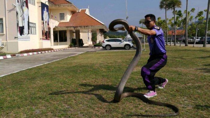 Lagi, Ular King Cobra Raksasa Ditangkap, Kali Panjangnya 5 Meter Tapi Lebih Gemuk