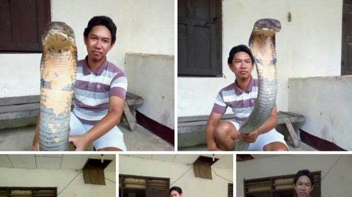 Merinding Lihatnya. Foto Laki-laki Pegang Ular King Cobra Kepala Besar Bikin Heboh