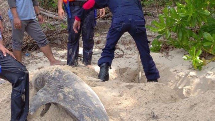 Lumba-Lumba Terdampar di Pantai Tanjung Natuna Penuh Luka, Begini Kondisinya. Foto evakuasi lumba-lumba yang terdampar di Pantai Tanjung Natuna beberapa waktu lalu.