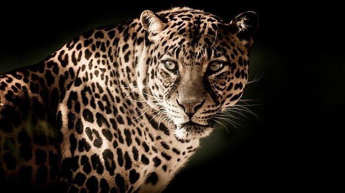6 Arti Mimpi Melihat Macan Tutul, Ada Pertanda Baik Tapi Jika Macan Tutul Hitam Waspadalah
