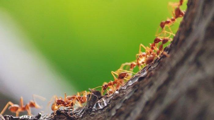 Pernah Kamu Mimpi Digigit dan Dikerumuni Semut Hitam? Ini Artinya Menurut Primbon Jawa