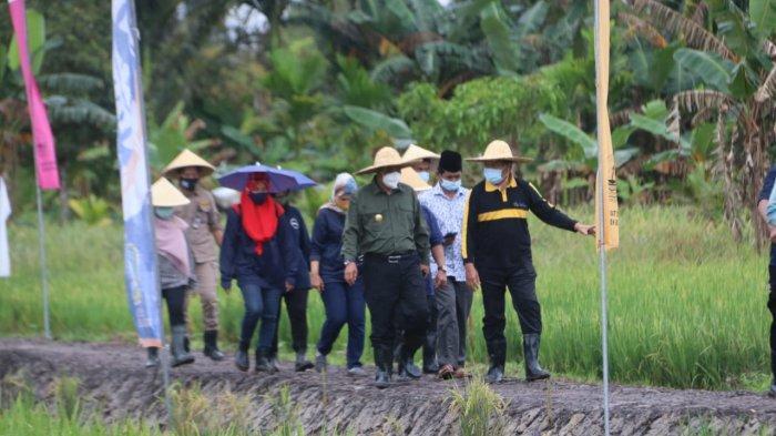 PJS BUPATI BINTAN - Suasana saat Pjs Bupati Bintan, Buralimar melaksanakan kegiatan panen raya padi,di Desa Bintan Buyu Kecamatan Teluk Bintan,Kamis (26/11/2020).