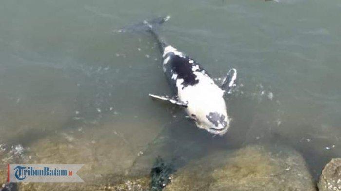 penampakan-ikan-lumba-lumba-mati-di-perairan-tebing-karimun.jpg