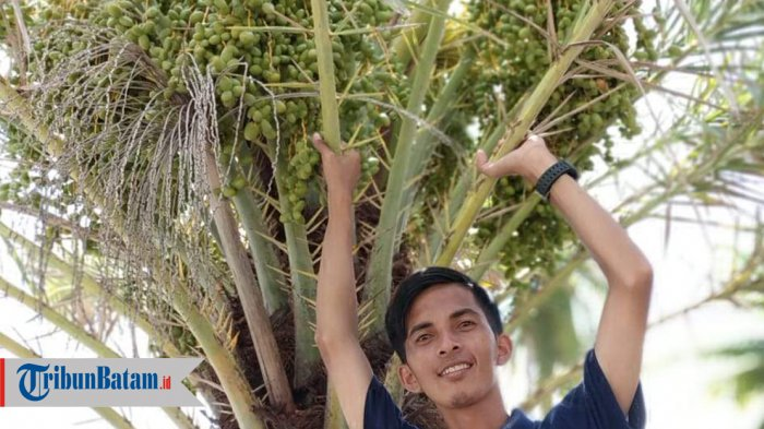 Pohon Kurma Ternyata Bisa Tumbuh Subur di Natuna. Awalnya Tak Sengaja Buang Biji Kurma