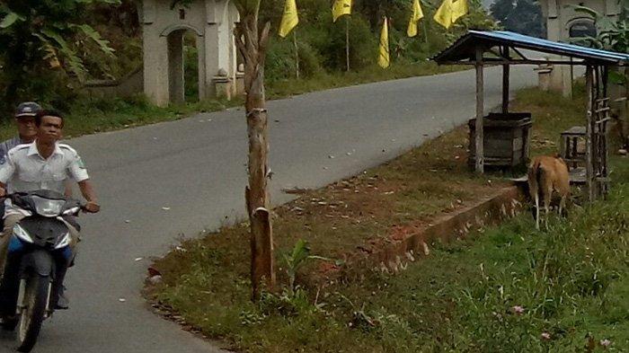 Camat Jemaja Tanggapi Sapi yang Tidak Ditambat, Abdullah Sani: Pohon Durian Saya Saja Habis