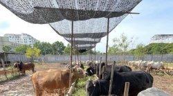 Sapi-sapi yang ada di Kandang Berkah