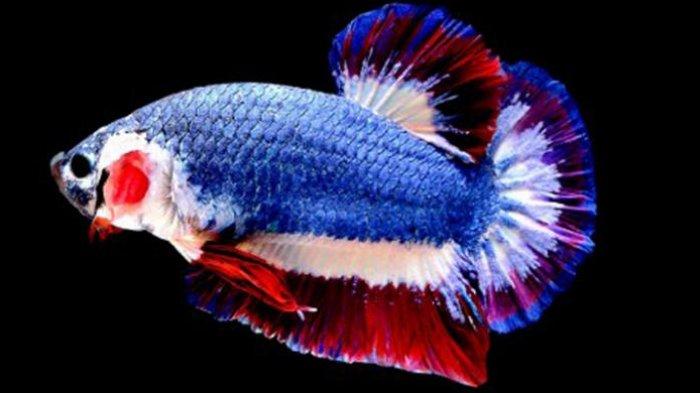 Cara Merawat Ikan Cupang Jenis Avatar Perhatikan Ph Air Dan Kualitas Indukan Tribun Batam