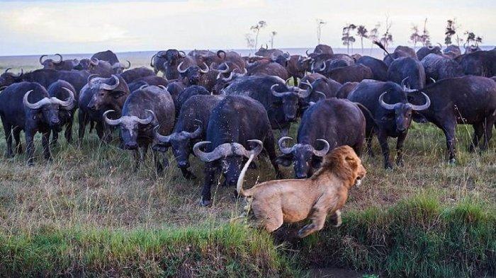 Saat Singa Lari Tunggang Langgang Diserbu Puluhan Ekor Kerbau
