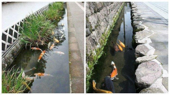 Intip Jernihnya Selokan Ikan Koi di Jepang, Shimabara Punya 60 Sumber Mata Air