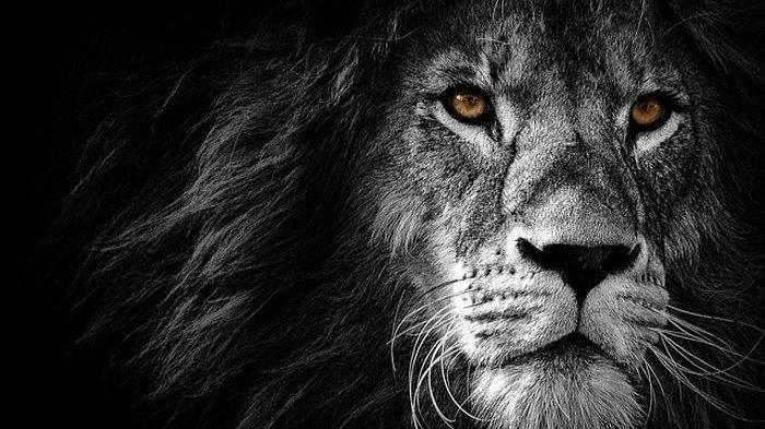 Betapa Mengerikannya Covid-19 di India, Belum Selesai Serang Manusia Kini 8 Singa Terpapar Corona