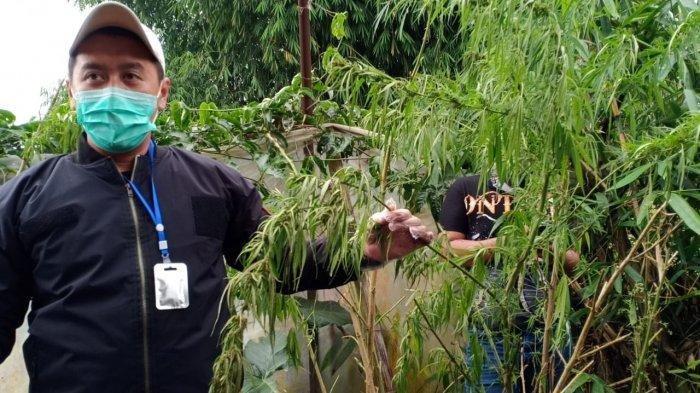 Polemik Ganja jadi Tanaman Obat Binaan Kementan, Anggota DPR RI: Jangan Melawan UU