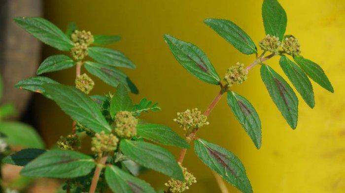 Sambiloto hingga Rumput Patikan Kebo, 10 Tanaman Ini Juga Bisa Jadi Obat Demam Berdarah Dengeu (DBD)