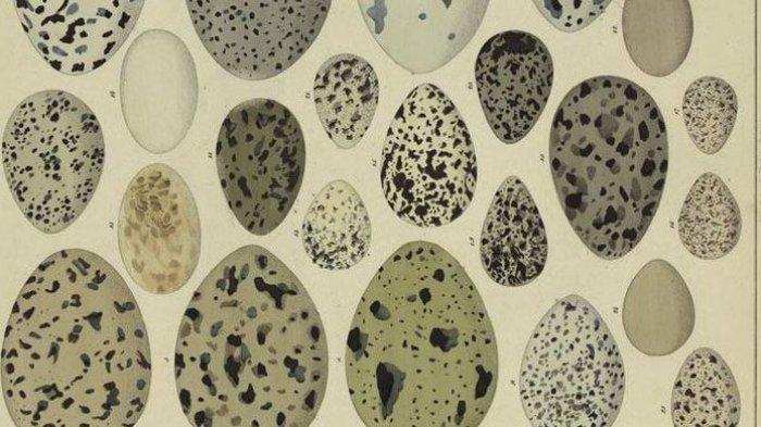 Mengejutkan! Pernah Bingungkan Aristoteles, Mengapa Telur Berbentuk Oval Terjawab!