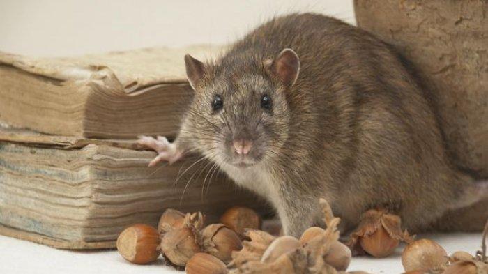 5 Tanaman Pembasmi Tikus di Rumah