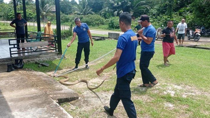 Ular King Cobra 3 Meter Masuk Rumah Warga di Lingga