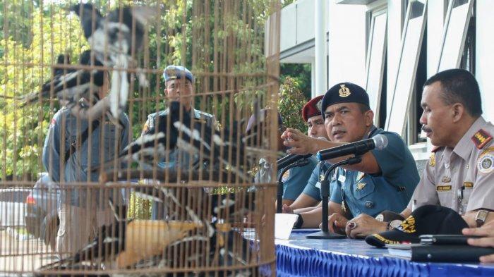 Dianggap Hama di Malaysia, 450 Burung Kecer Sering Diselundupkan Dari Malaysia ke Indonesia