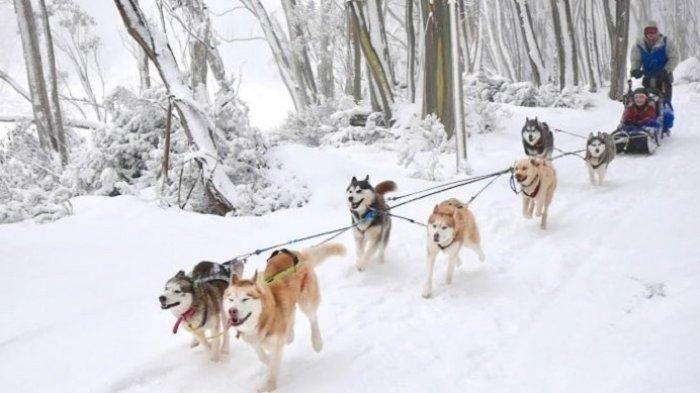Panduan 8 Cara Menikmati Musim Dingin di Australia, Coba Dog Sledding