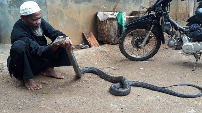Jadi Tontonan, Tangkap Ular King Cobra 3,5 Meter, Pria Ini Sesekali Lepas di Halaman Rumahnya