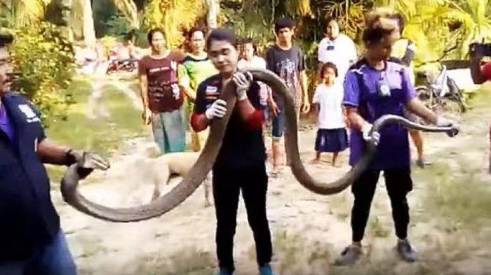 VIDEO - Para Pria Ini Ketakutan Dihadang Ular King Cobra Sepanjang 6 Meter Didepan Pintu Rumah Warga