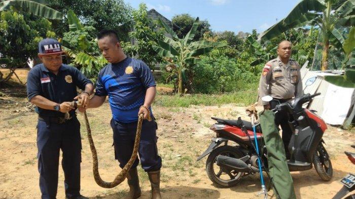 Tim animal rescue UPT Damkar Bintan Utara mengevakuasi ular piton yang masuk ke kandang ternak milik Aipda Yoyok Sumantri di Perumahan Telaga Surya Tanjunguban, Jumat (23/7/2021).