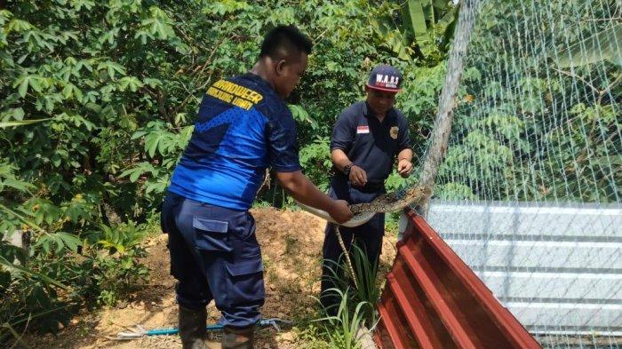 Ular Piton Masuk Kandang Ternak Milik Polisi di Bintan, UPT Damkar Ambil Tindakan