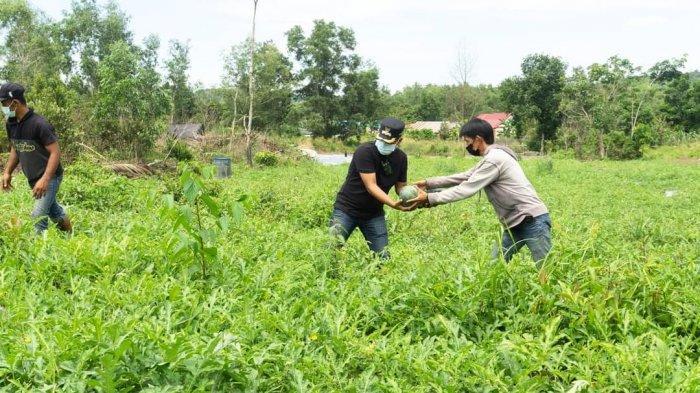 Wakil Bupati Lingga Panen Semangka di Kecamatan Singkep, Dorong Produksi Petani Lokal