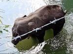06062020_gajah-mati-berdiri-di-india-setelah-diberi-nanas-isi-petasan.jpg