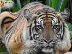 08-12-2019-harimau-sumatera-mengamuk.jpg