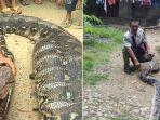 18112019_pergumulan-melawan-ular-piton-raksasa.jpg