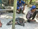 2301warga-lingga-tangkap-seekor-babi-hutan1.jpg