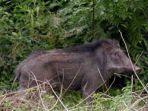 28-8-2020-ilustrasi-babi-hutan.jpg
