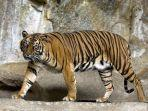 2982019_harimau-sumatera.jpg