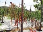Cabe-merah-yang-ada-di-pertanian-wacopek-Bintan.jpg